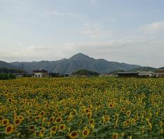 先山とひまわり畑.jpg