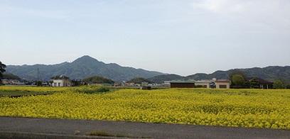大野菜の花畑.jpg
